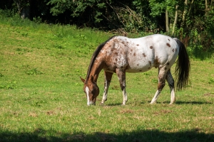 spotted appaloosa horse in white and brown grazes on the green p